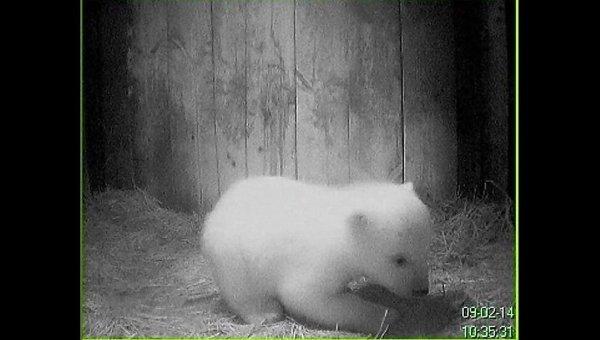 Белый медвежонок учится ходить в берлоге в Ленинградском зоопарке