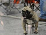 Международная выставка собак Евразия-2015
