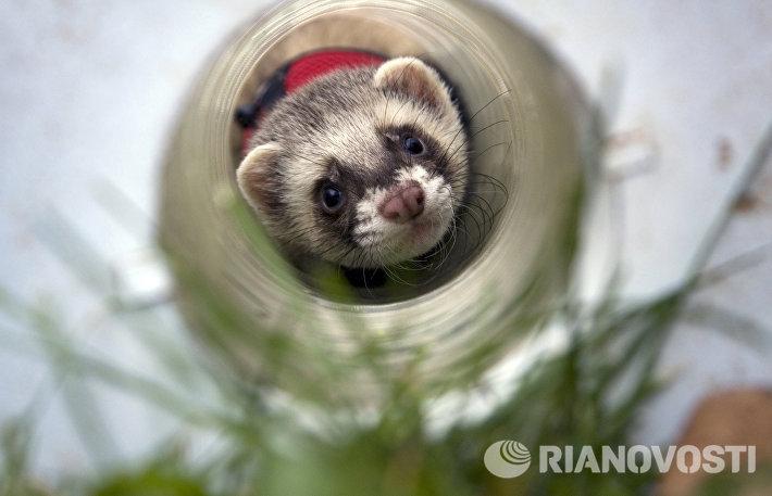 День хорька прошел в Кузьминском парке в Москве